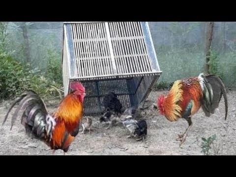 câu chuyện săn gà